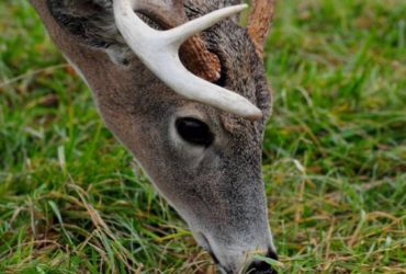 whitetail-deer-scent-control